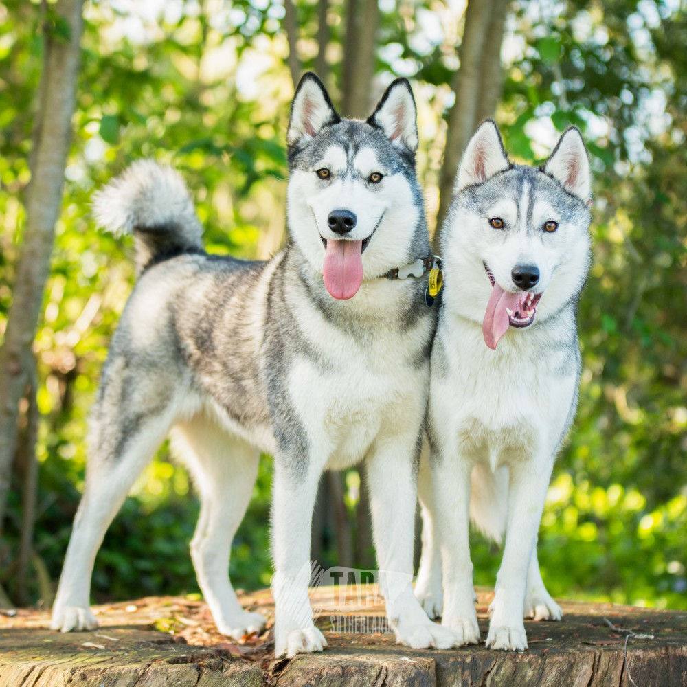 tarasutherland-huskies-9212
